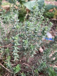 August- herb-of-the-month
